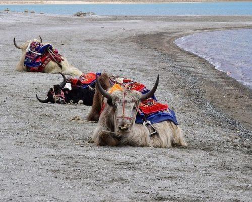 yak-in-pangong-lake-ladakh